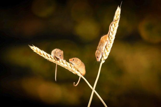 Plaga myszy na polach. Ogromne straty rolników w całym regionie