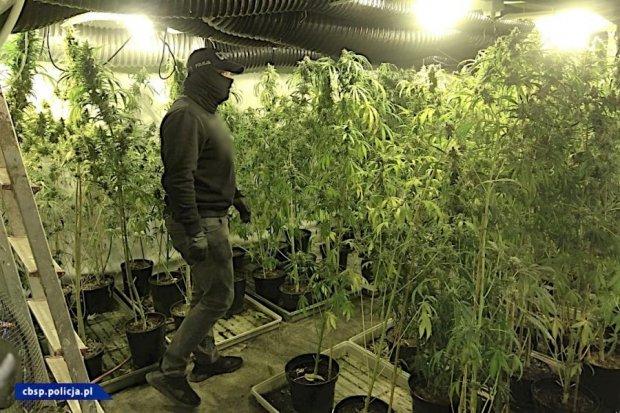 Ogromna plantacja marihuany niedaleko nas zlikwidowana. Rośliny miały blisko 2 metry!