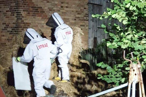 Strażacy usunęli gniazda szerszeni w Różyńcu i w Brzeźniku