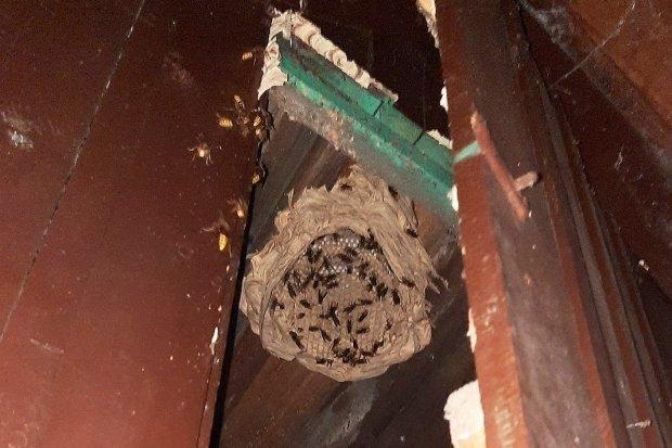 OSP Różyniec: kolejne gniazda szerszeni usunięte