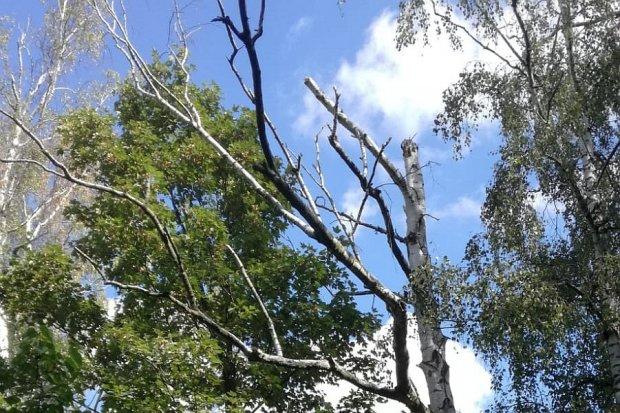 Przy alei Tysiąclecia nadal niebezpiecznie. Spadają konary z uschniętych drzew