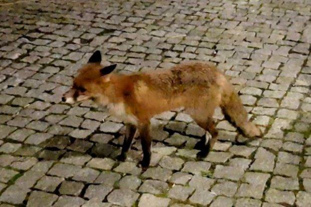 Piękny lis spacerował po centrum Bolesławca