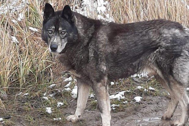 Czy to pies, czy wilk wałęsa się w okolicach Krępnicy?