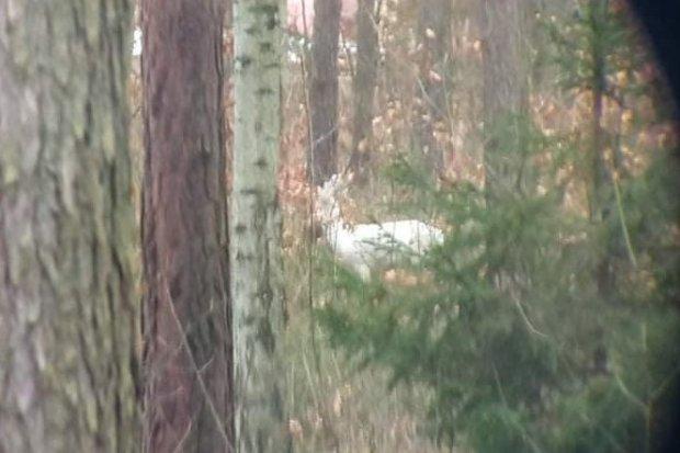 Niezwykłe zwierzę w naszych lasach. Kozioł albinos