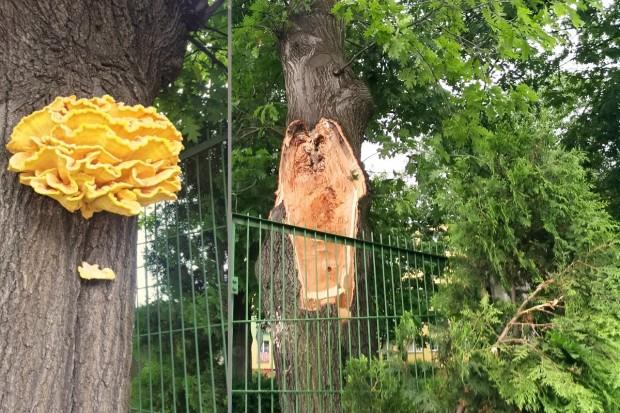Duży konar spadł na ogrodzenie stadionu. Wcześniej drzewo zaatakował żółciak siarkowy