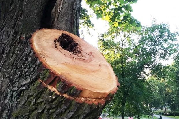 Wycinają i przycinają drzewa w parku Bonina w Bolesławcu. Wiemy dlaczego