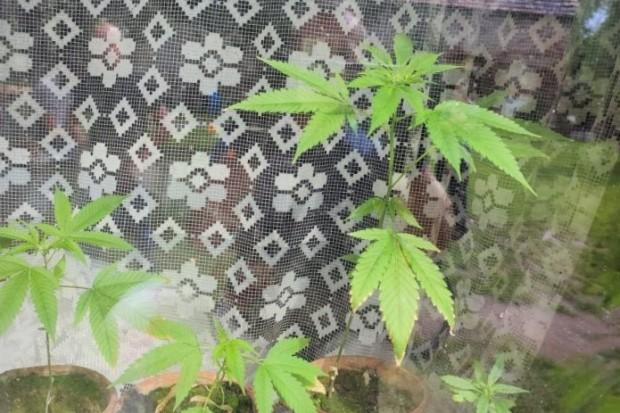 29-latek wpadł z marihuaną. Uprawiał ją… na parapecie