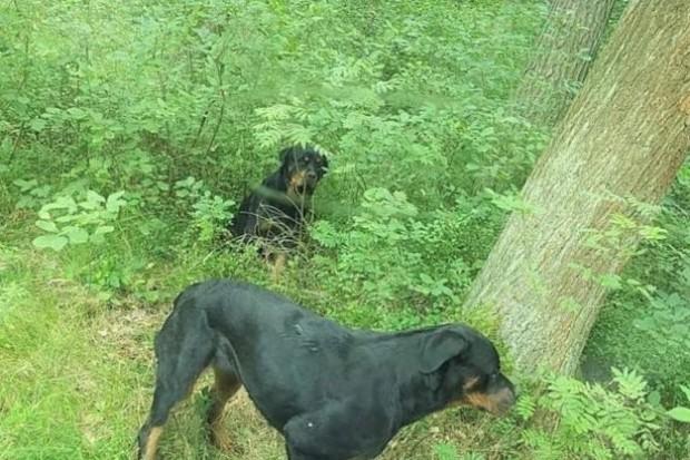 Uwaga! Agresywne rottweilery w lesie koło Brzeźnika. Akcja zakończona