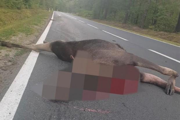 Auto zderzyło się z łosiem między Osiecznicą a Bolesławcem. Zwierzę bez szans