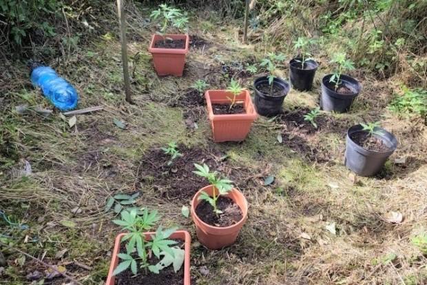 Kolejni hodowcy marihuany zatrzymani, dwie nielegalne plantacje zlikwidowane