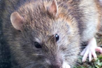 Czy Bolesławcowi grozi plaga szczurów?