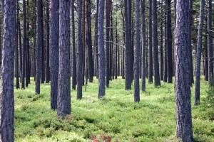 Recydywista próbował ukryć skradzione audi w lesie