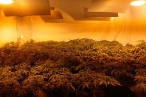 Plantatorzy maryśki aresztowani. Policja przechwyciła konopie warte 90 tys. zł
