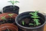 Uprawiali marihuanę, grozi im do 3 lat więzienia