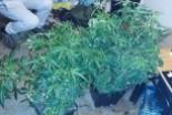 Domowa plantacja marihuany zlikwidowana, 21-latek zatrzymany