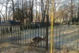 Uwolnili koziołka, który zaklinował się w ogrodzeniu