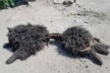 Wilki rozszarpały psa w Brzeźniku