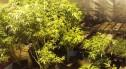 Duża plantacja maryśki zlikwidowana. Narkotyki warte 1,5 mln zł przechwycone