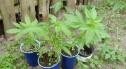 Zlikwidowali dwie uprawy marihuany