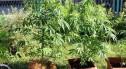 Plantacja marihuany zlikwidowana, 32-latek zatrzymany