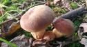W podbolesławieckich lasach pojawiły się grzyby