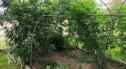 35-latek hodował marihuanę w przydomowym ogródku, grozi mu do 8 lat więzienia