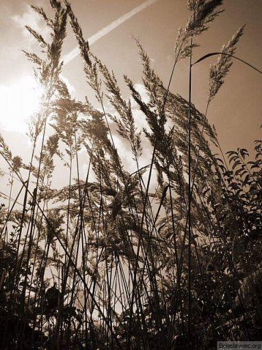 Trawy w słońcu