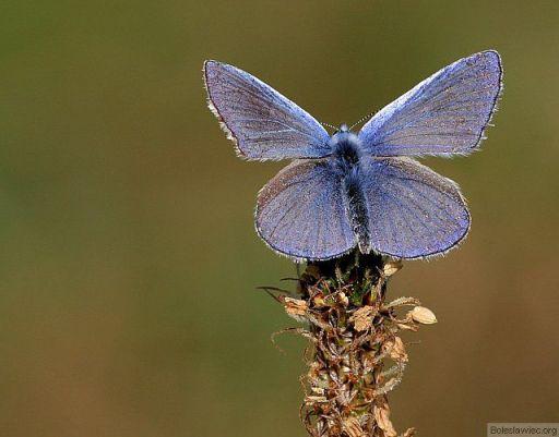 Niebieski klejnocik