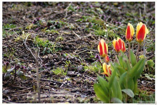 Tulipany?