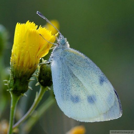 Kiedy ta wiosna i motylki chlip chlip :-)