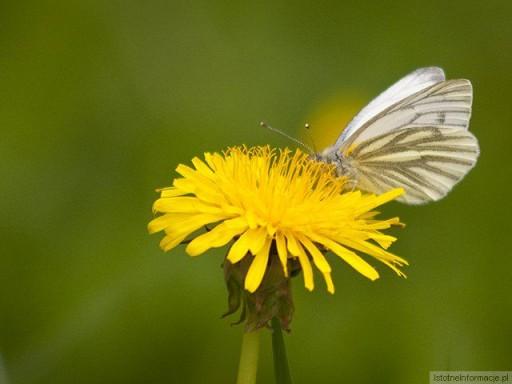 Usiadł motylek