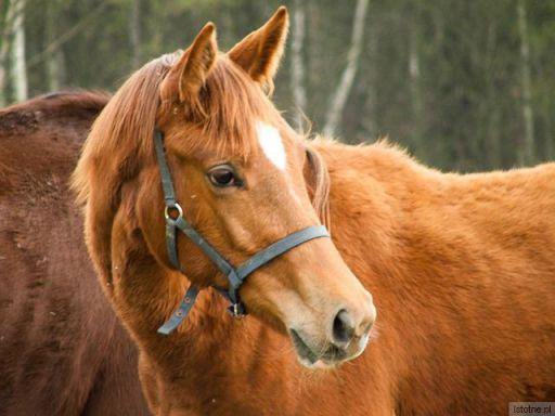 Koń z gospodarstwa jeździeckiego Patalejowo we Włodzicach