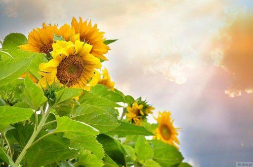 słoneczniki wieczornym słońcem malowane