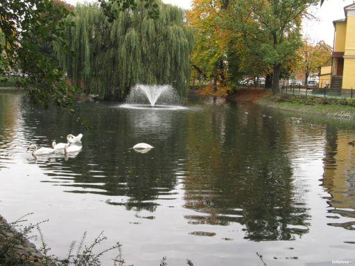 łabędzie jesienią