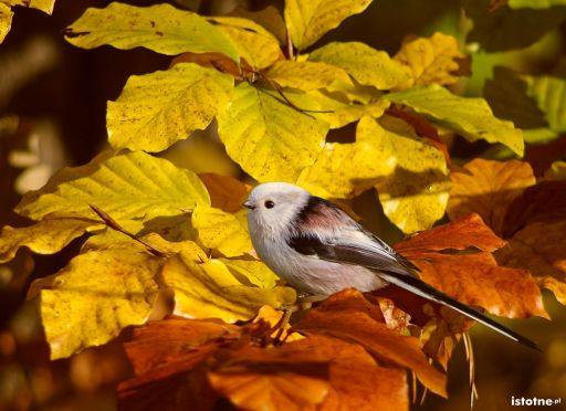 jesienny raniuszek