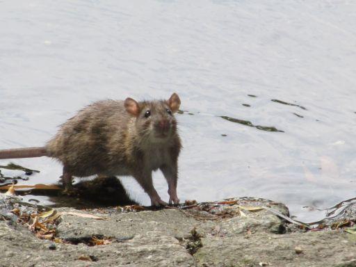 szczury buszujące nad stawkiem