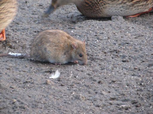 szczury nad stawkiem
