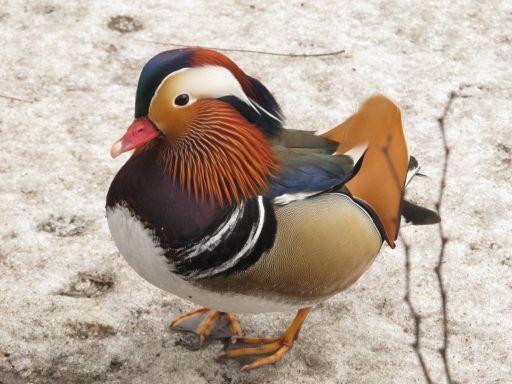 kaczor kaczki mandarynki