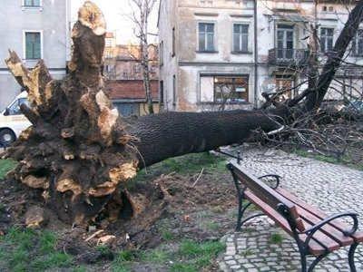 Konar powalonego drzewa przy ulicy Sądowej
