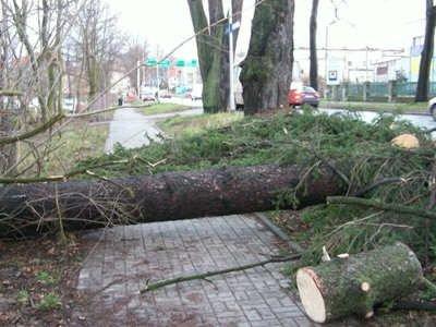 Pień drzewa na chodniku przy ulicy Jeleniogórskiej