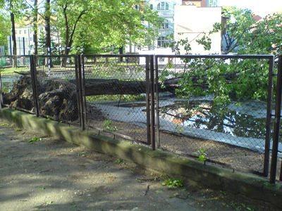 Wyrwane drzewo z korzeniami na placu AutoSzkoły przy ul. Bankowej