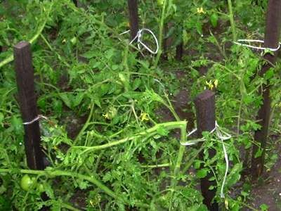Grad połamał m.in. łodygi pomidorów