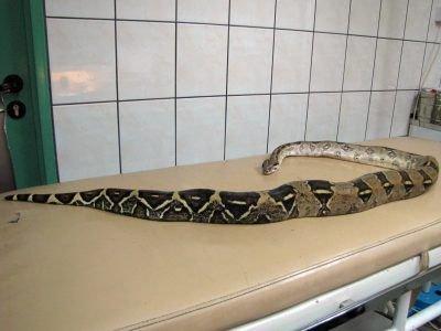 Wąż miał prawie 2,5 m długości