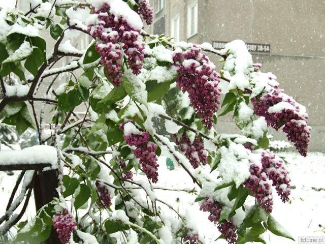 Gałęzie drzew i krzewów uginają się pod ciężarem mokrego śniegu