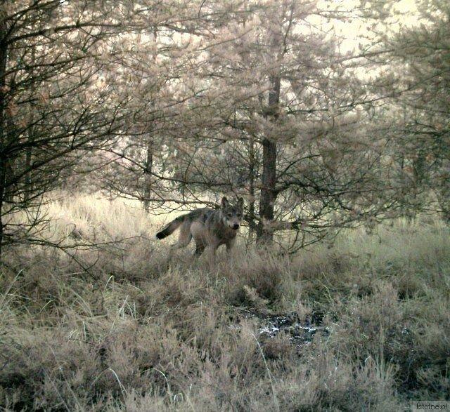"""Dorosły wilk ze wschodniej części Borów Dolnośląskich. Zdjęcie wykonane przy użyciu fotopułapek w ramach monitoringu populacji wilka prowadzonego przez Stowarzyszenie dla Natury """"Wilk"""""""