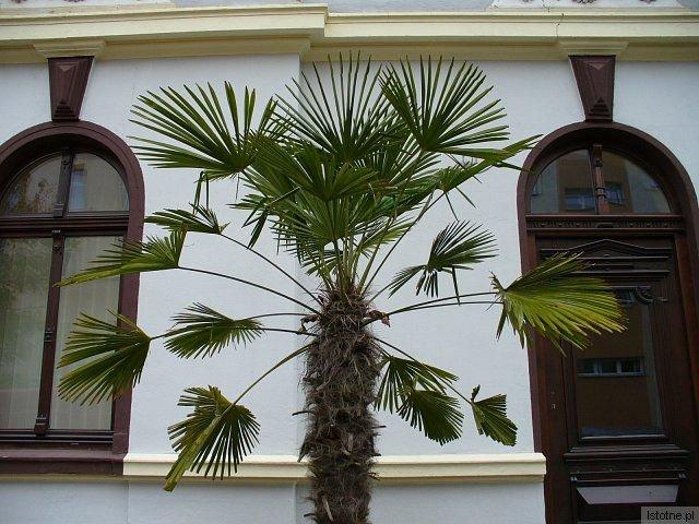 Palma daktylowa ozdabia ogródek przy ulicy Kaszubskiej