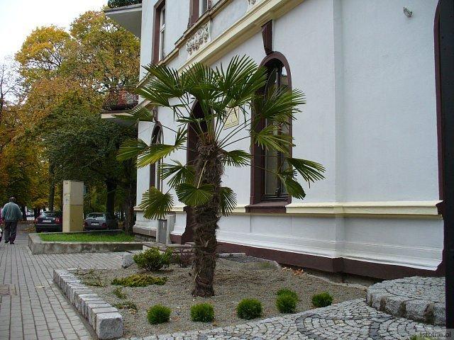 Sprzedawca zapewnia, że palma wytrzyma nawet 30-stopniowy mróz