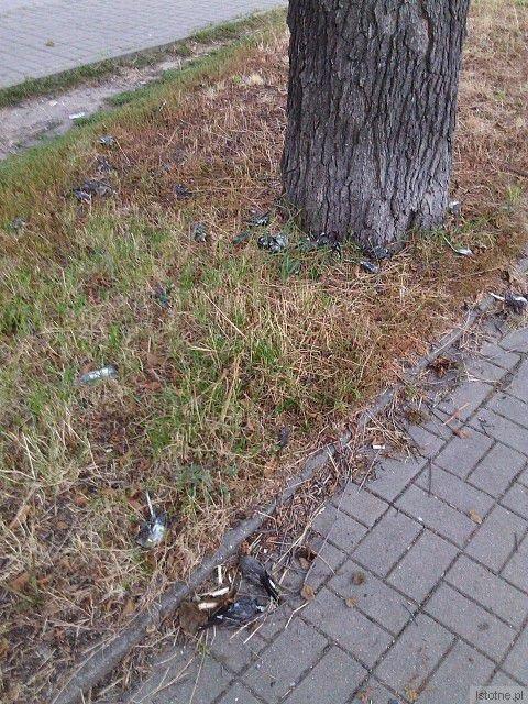 Około 30 martwych ptaków pod drzewem niedaleko wiaduktu kolejowego