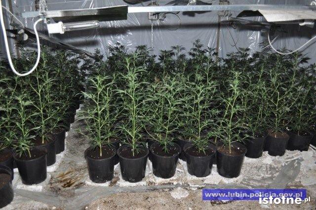 Zlikwidowana plantacja marihuany