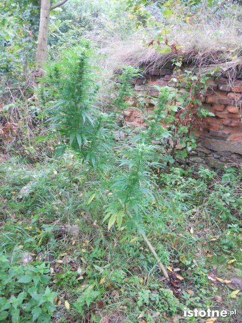 Linia produkcyjna nielegalnego tytoniu i plantacja marihuany
